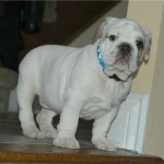 EnglishBulldogSonnyPuppy9Weeks2